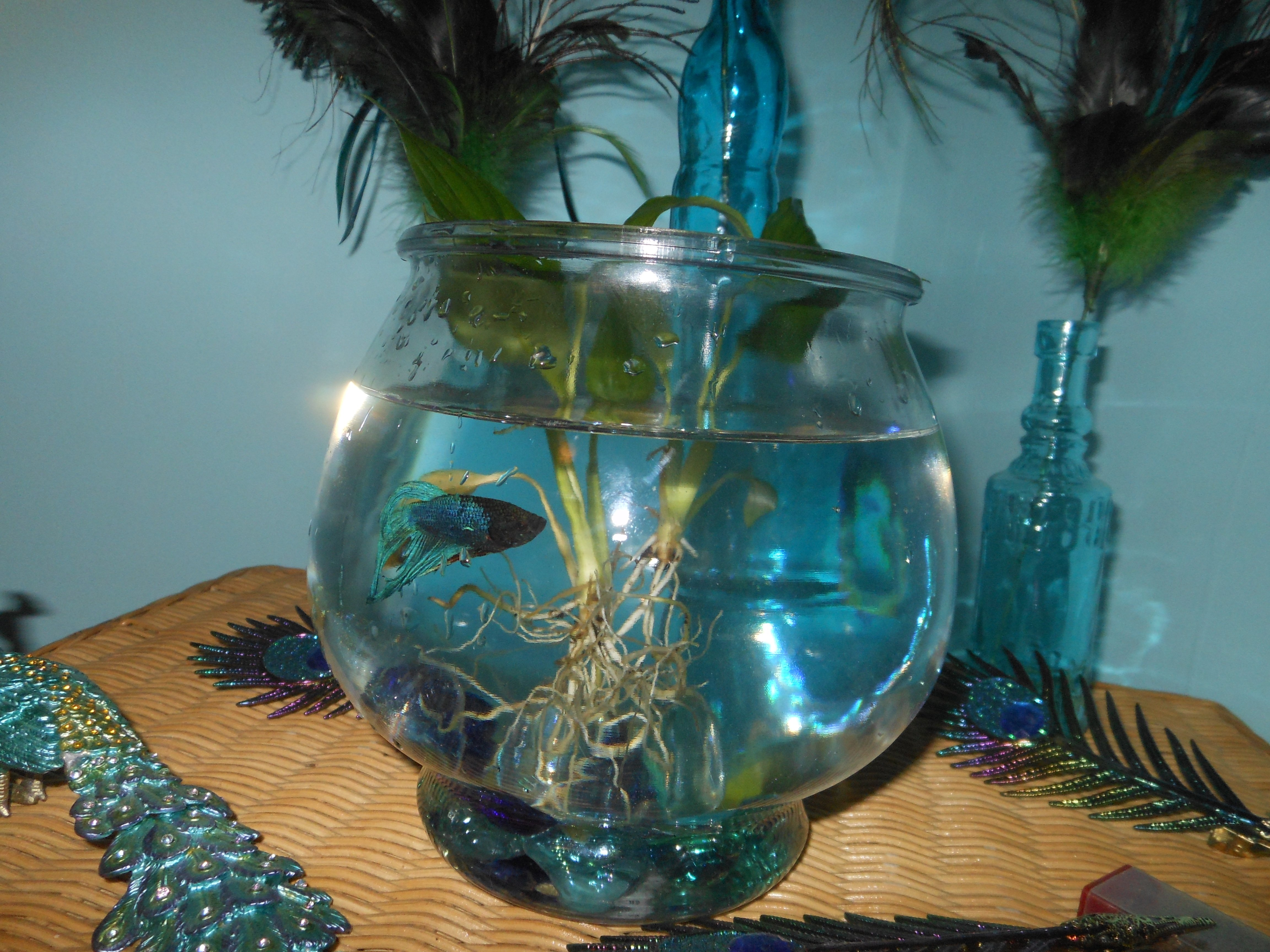 Fred meet bert and ernie happy holly project fred the veil tailed male betta fish reviewsmspy