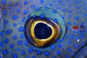 southern blue devil fish